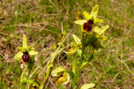 2016-05-15-11h08m57_orchidees-de-leoux