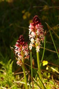 2016-05-15-11h21m06_orchidees-de-leoux