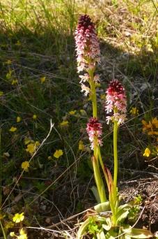 2016-05-15-12h00m55_orchidees-de-leoux