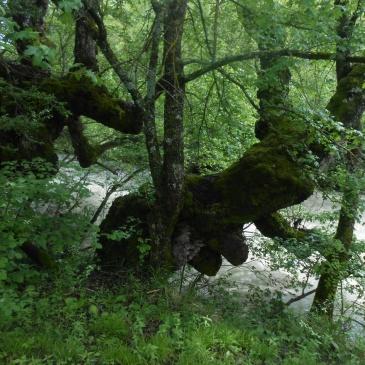 Arbres remarquables vallée de l'Oule